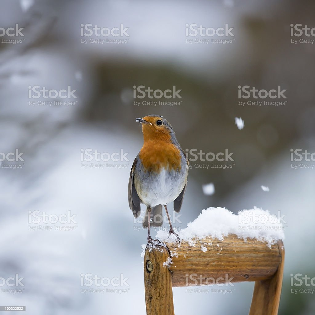 Robin (Erithacus rubecula) stock photo