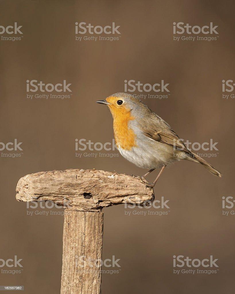 Robin royalty-free stock photo