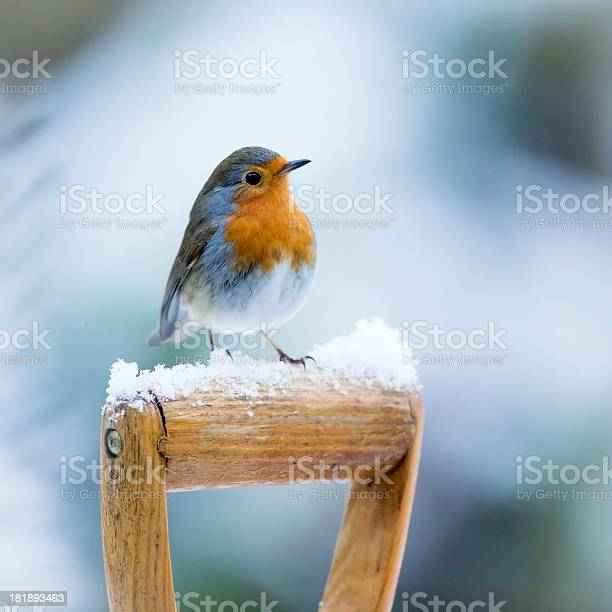 Photo of Robin (Erithacus rubecula)