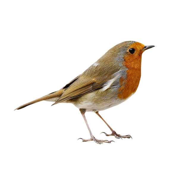 robin (erithacus rubecula) - bird stock photos and pictures
