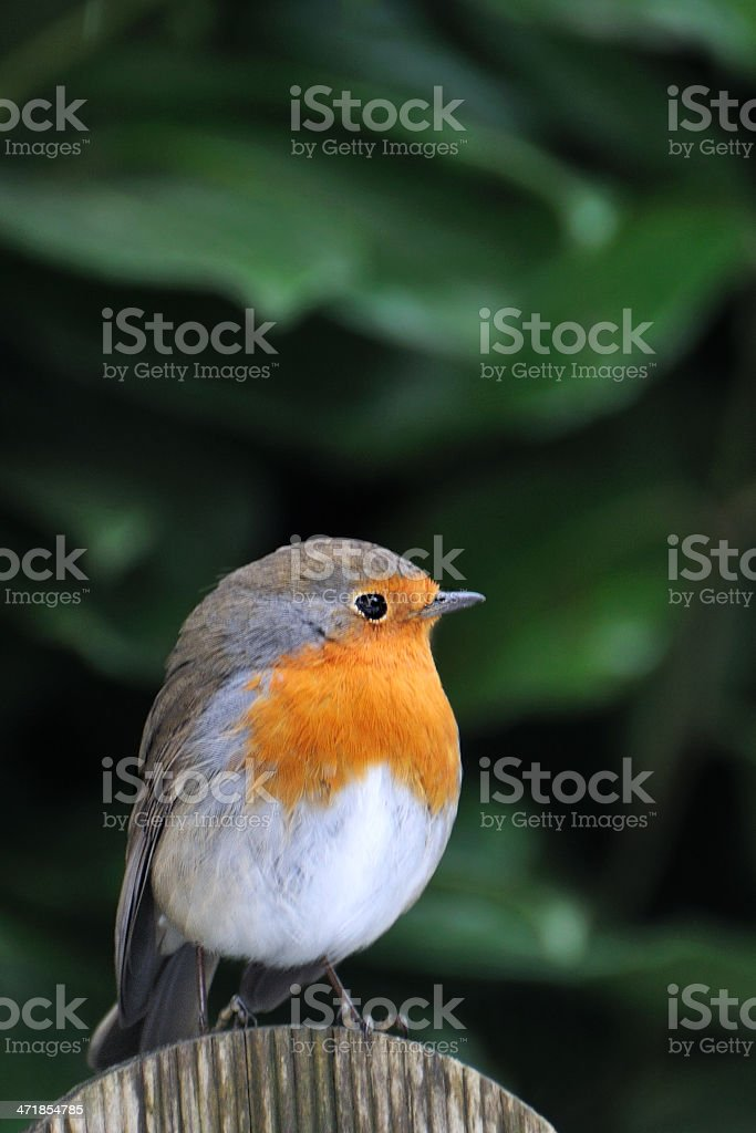 Robin (Erithacus rubecula) royalty-free stock photo