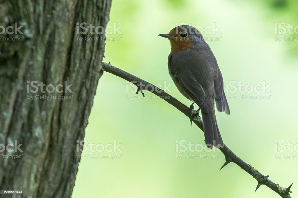 Rotkehlchen (Erithacus rubicula) stock photo