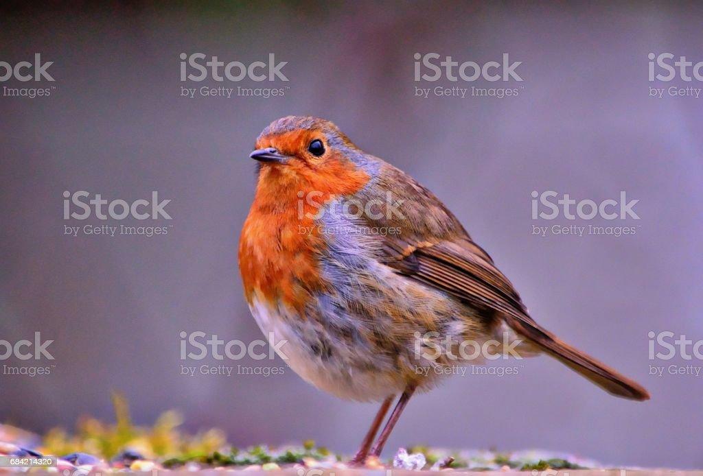 Robin #1 royalty-free stock photo