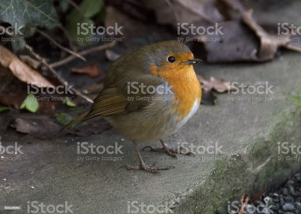 Robin royalty-free stock photo