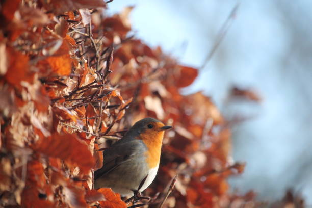 Robin popping head out picture id979313790?b=1&k=6&m=979313790&s=612x612&w=0&h=ztjpwpoejk4mme0g6fdn7wpxhhphmbvbvlaofworut4=