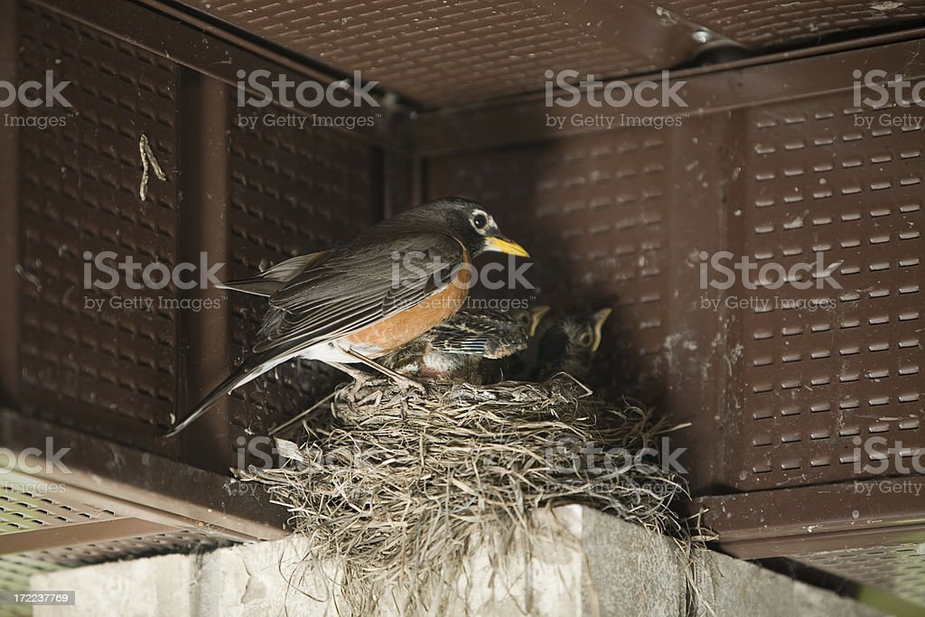Robin protecting newborns royalty-free stock photo