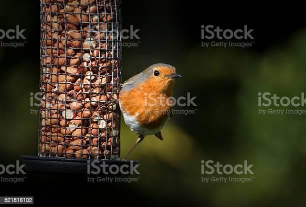 Robin red breast and his peanuts picture id521816102?b=1&k=6&m=521816102&s=612x612&h=lan0gbfgk5wngunu1r4gzaemwk0glpchttt68 aj1sm=