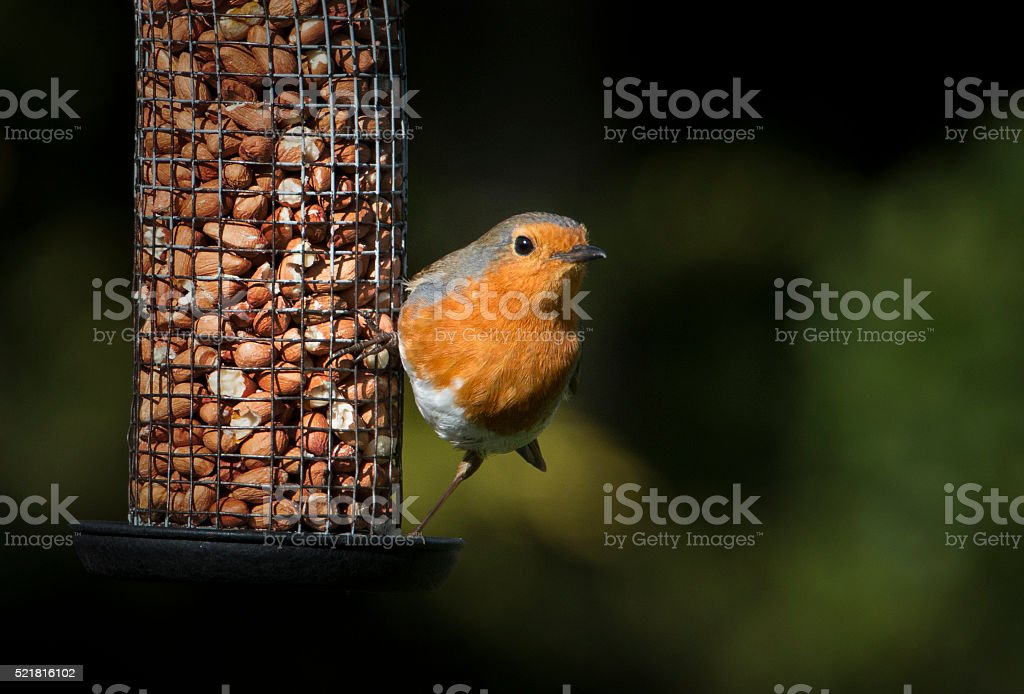 Robin Red breast and his peanuts stock photo