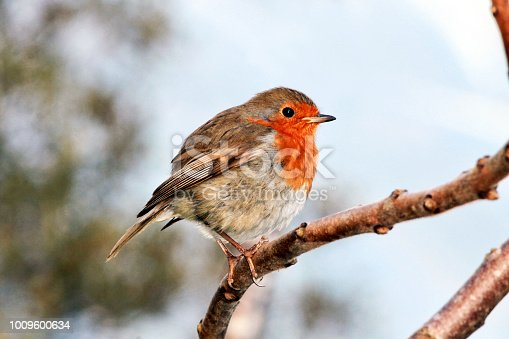 A photo of a Robin red breast sitting on a tree branch.