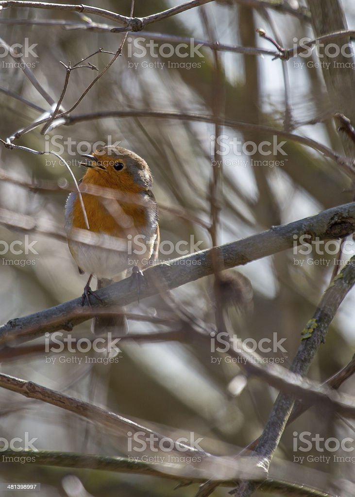 Robin Red Breast (Erithacus rubecula) royalty-free stock photo