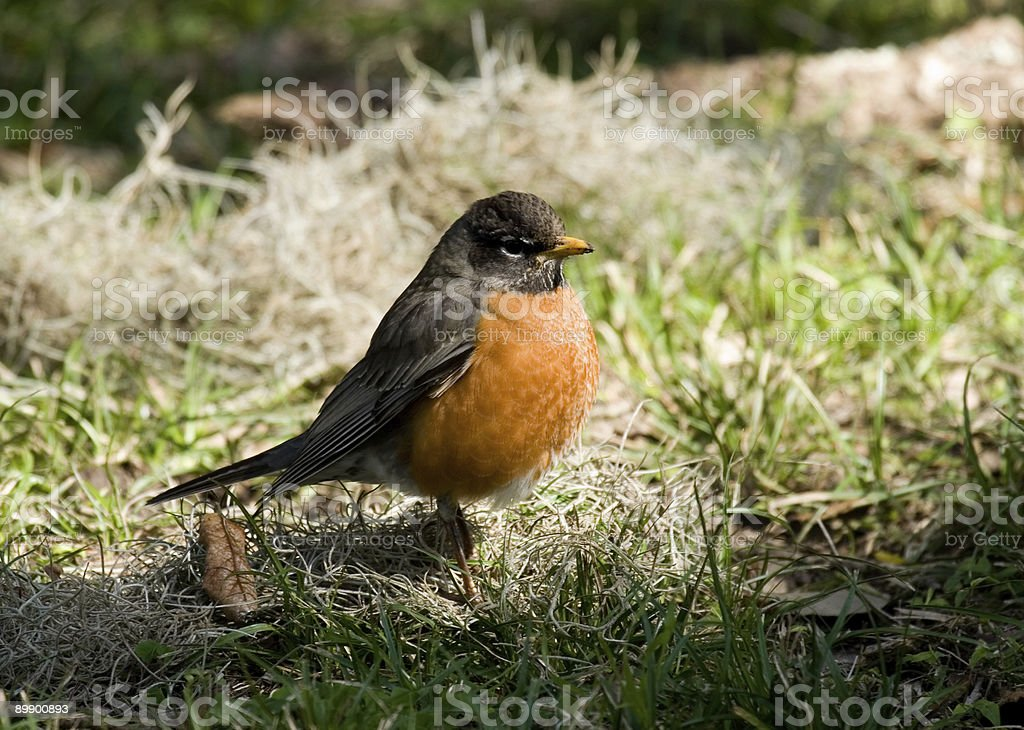 Robin red breast royalty-free stock photo