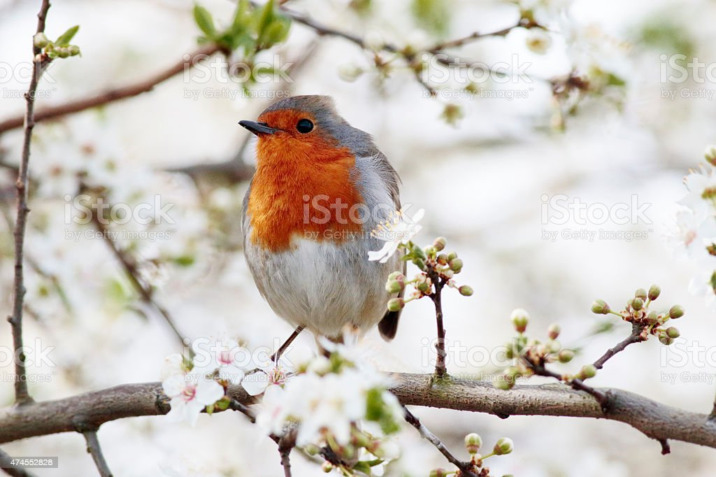 Robin redbreast Erithacus rubecula in spring blossom stock photo