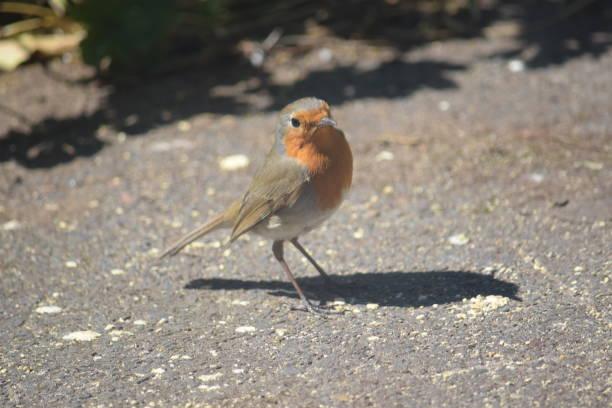 Robin redbreast feeding no chão - foto de acervo