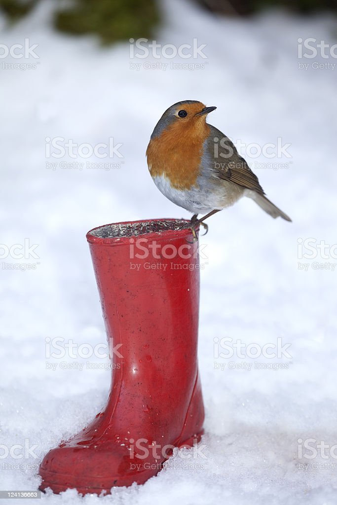 Robin Redbreast Red Boot - XXXL - Royalty-free Animals In The Wild Stock Photo