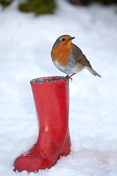 Robin Redbreast Red Boot - XXXL stock photo