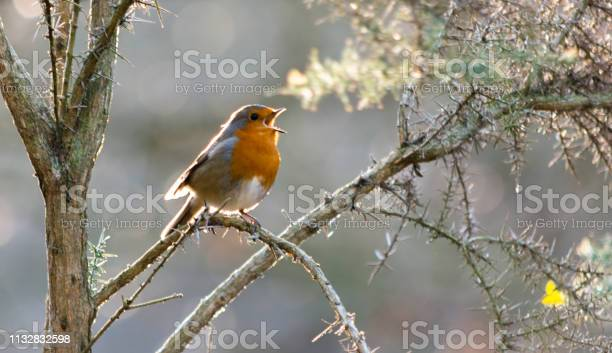 Photo of Robin singing in a tree