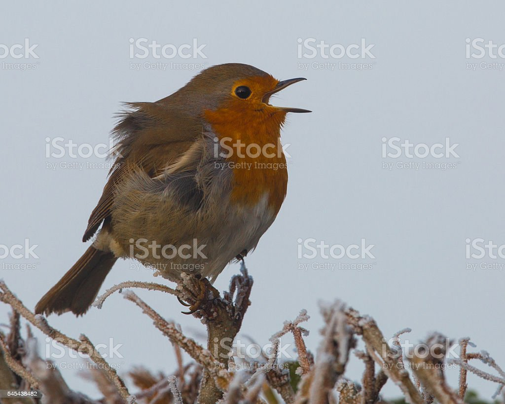 Robin singing on a frosty day. (Erithacus rubecula) stock photo