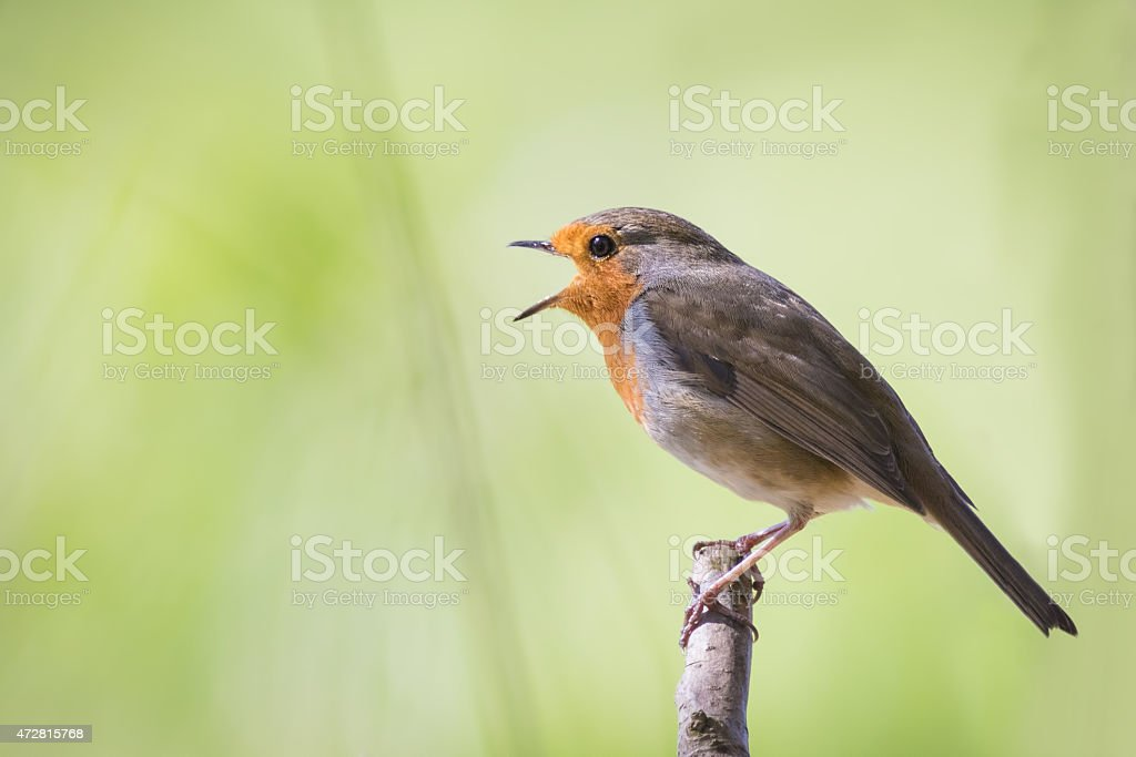 Robin singing stock photo