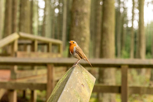 Robin sitting on a wooden bannister Robin looking at the camera sitting on a wooden bannister in Kielder Forest. northeastern england stock pictures, royalty-free photos & images