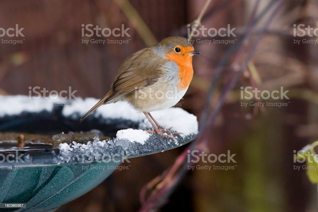 Robin Snow Scene stock photo