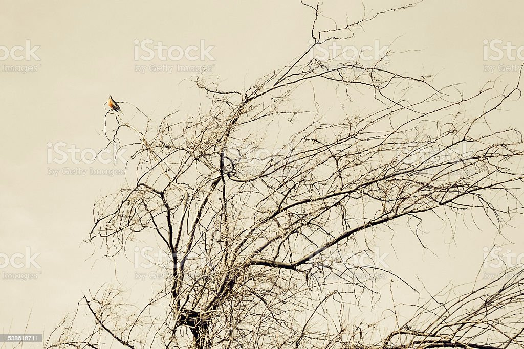 Robin waiting for spring from bare tree branches royalty-free stock photo