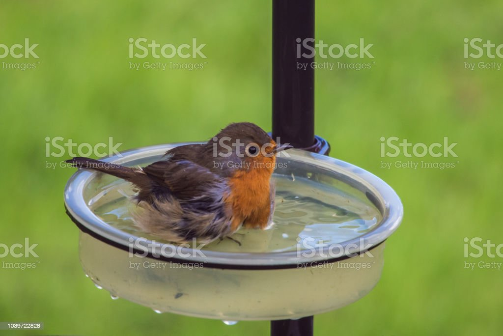 Robin washing in water bath stock photo