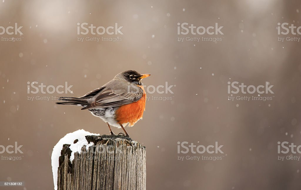 Robin watching snow fall. stock photo