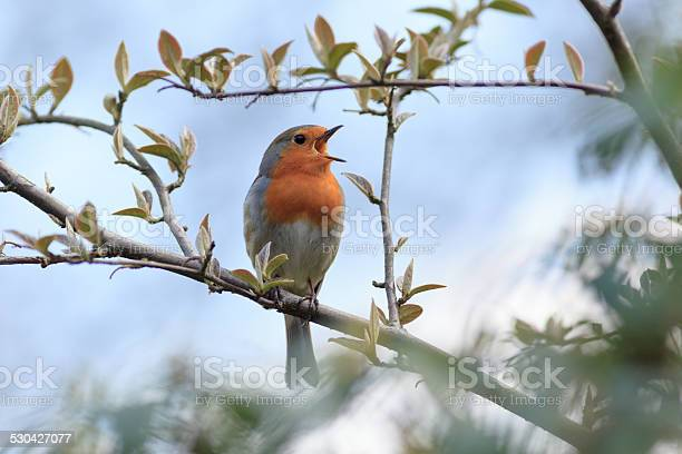 Photo of Robin (Erithacus rubecula).Wild bird in a natural habitat.