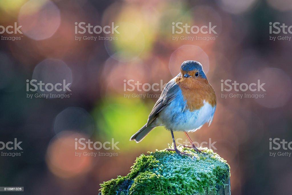 Robin with circular bokeh background stock photo