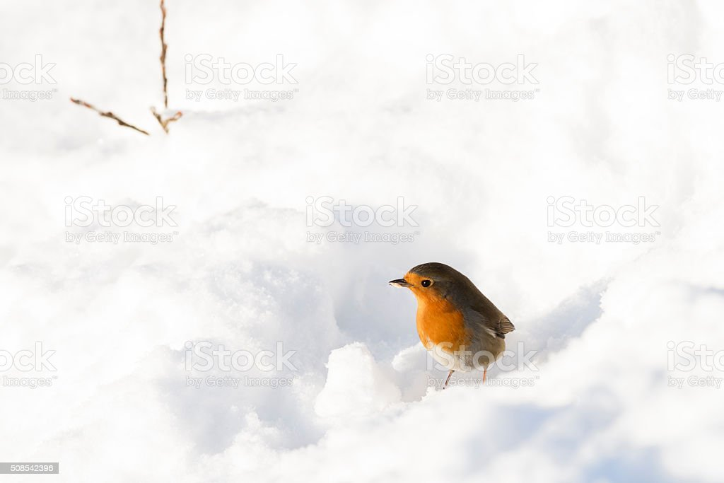 Robin with piece of food standing in snow  in winter stock photo
