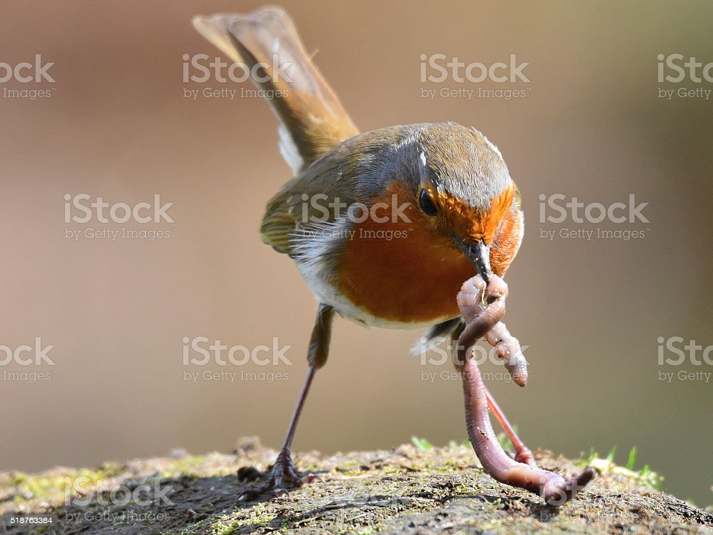 Robin with worm stock photo