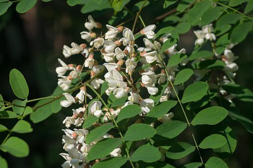 Robinia pseudoacacia, black locust flowers closeup selective focus