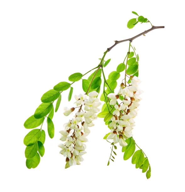 Robinia pseudoacacia, commonly known in its native territory as black locust. Flower on a white background. stock photo