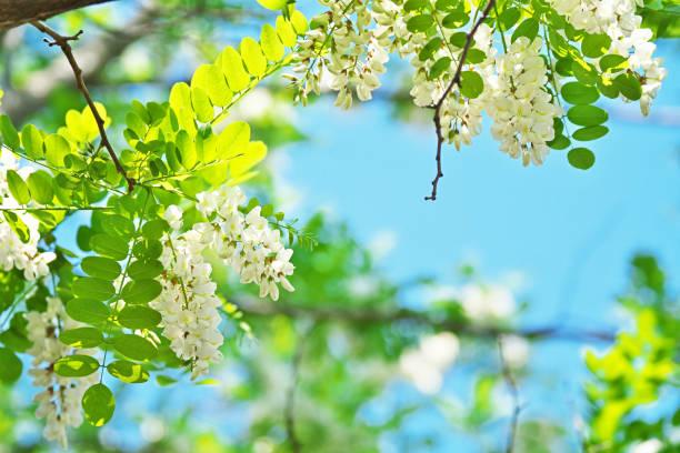 Robinia pseudoacacia – Foto