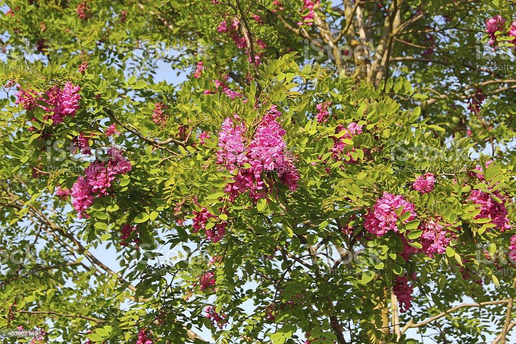 Robinia pseudoacacia - Scheinakazie stock photo
