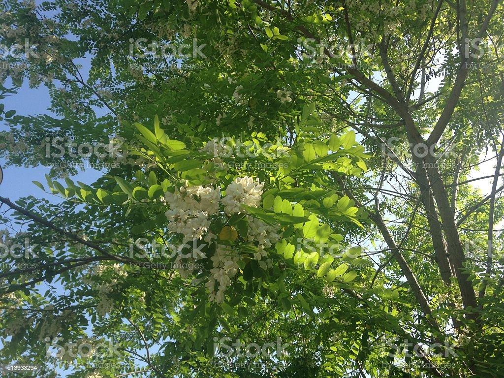 Albero Con Fiori Bianchi locust robinia pseudoacacia albero con fiori bianchi