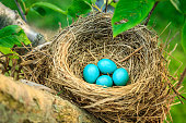 Blue robins eggs in a nest on a tree in Central Kentucky
