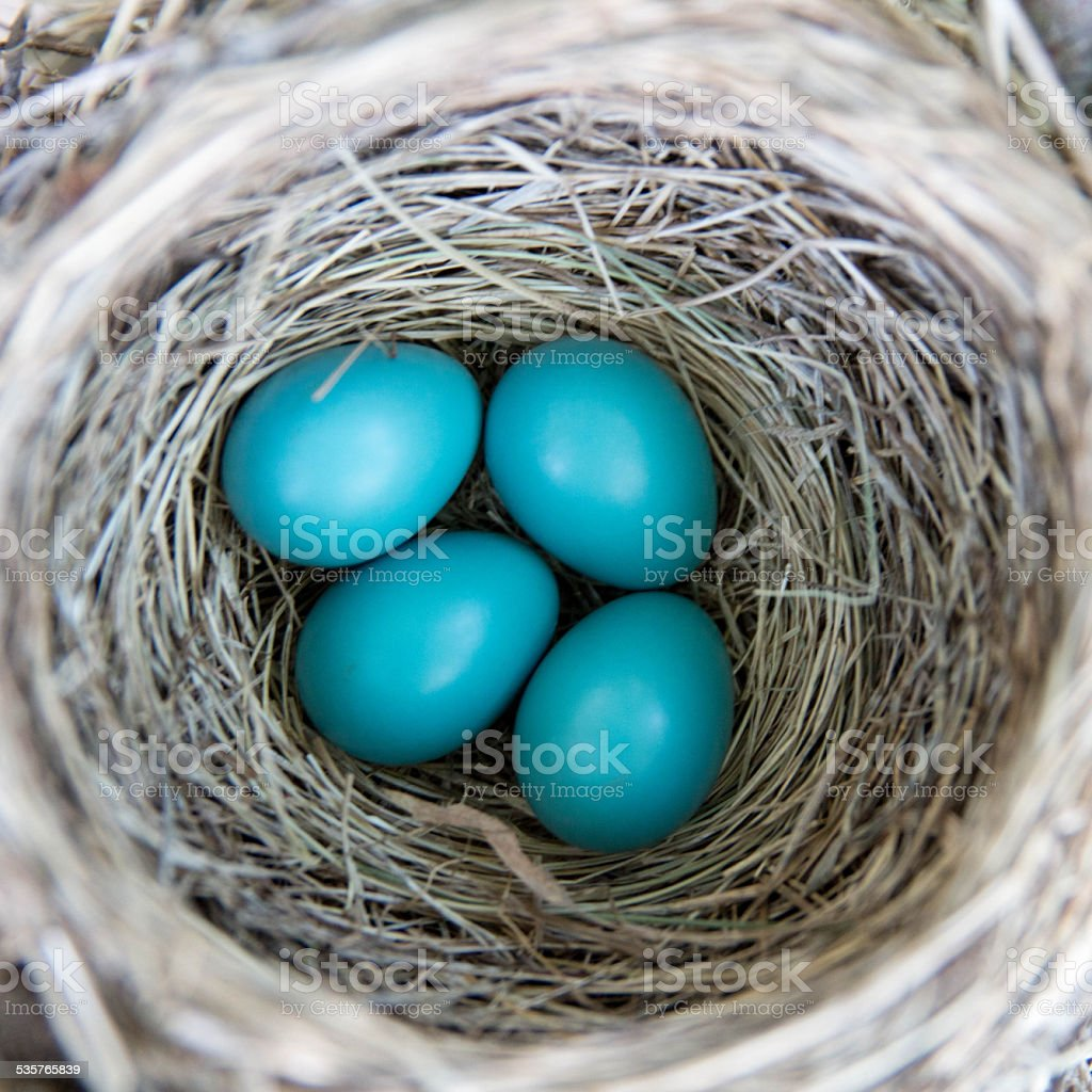 Robin's Eggs stock photo