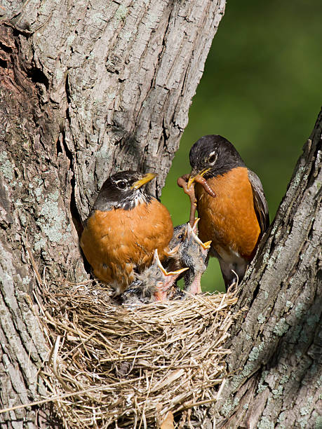 Robins feed their young stock photo