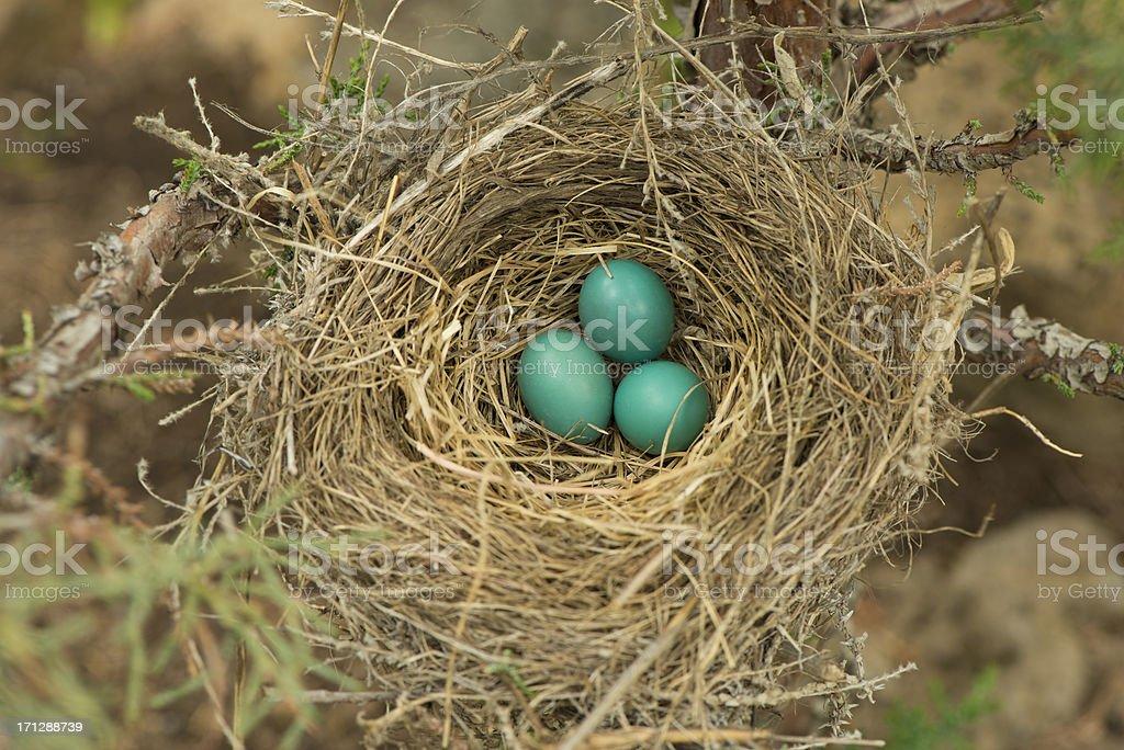 Robin's nest stock photo