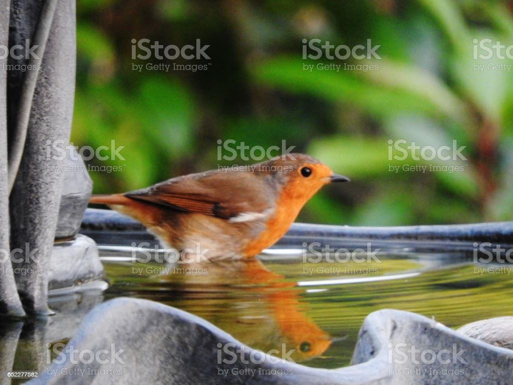 Robins refection in the bath stock photo