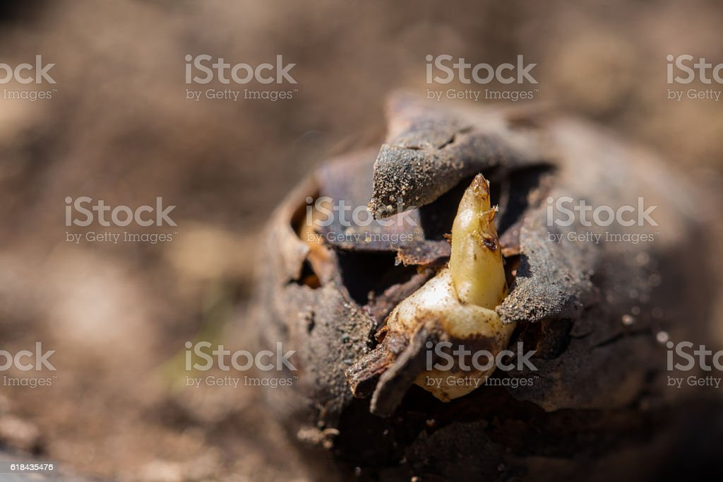 roble germinando stock photo