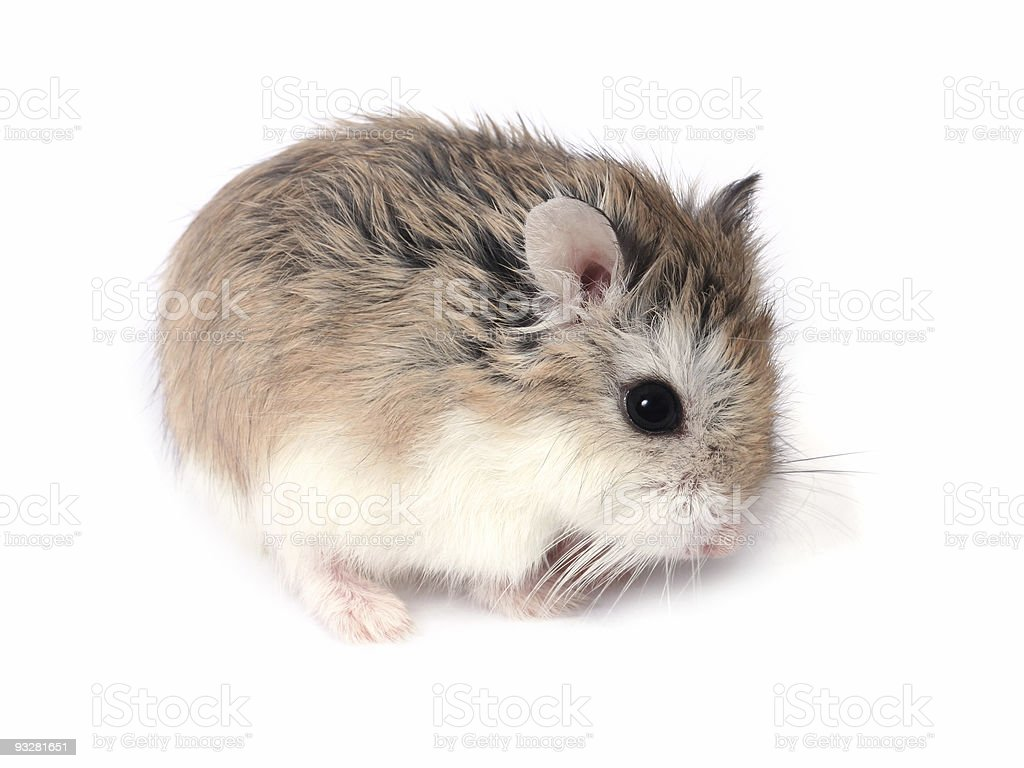 Roborovski hamster stock photo