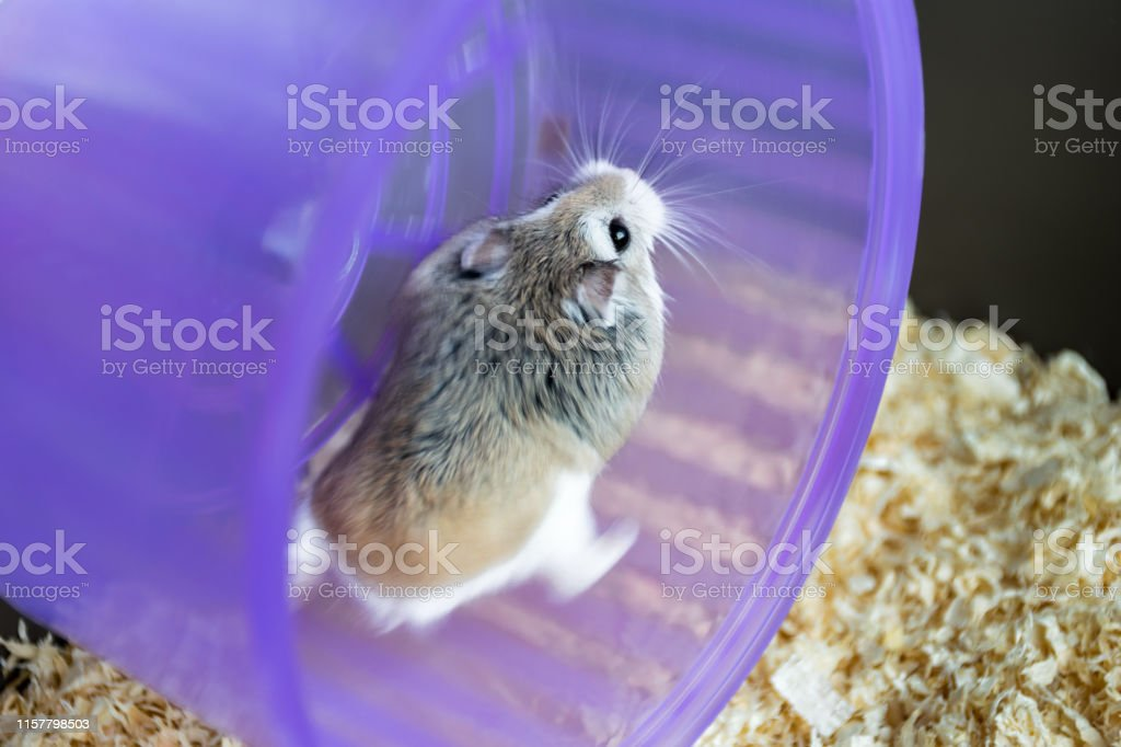 Roborovski Hamster Running On A Purple Wheel In A Cage
