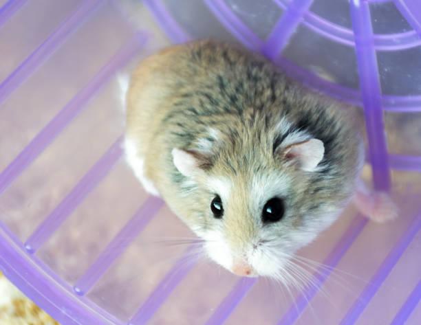 Roborovski Hamster Stock Photos, Pictures & Royalty-Free