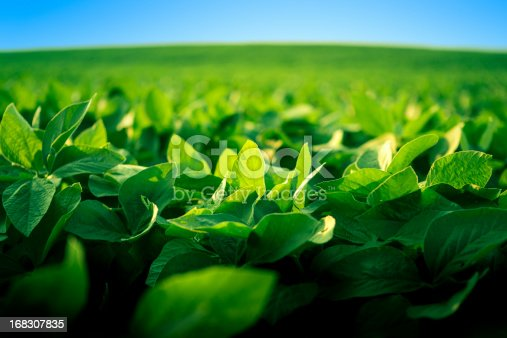 A healthy and vibrant-looking soy bean crop