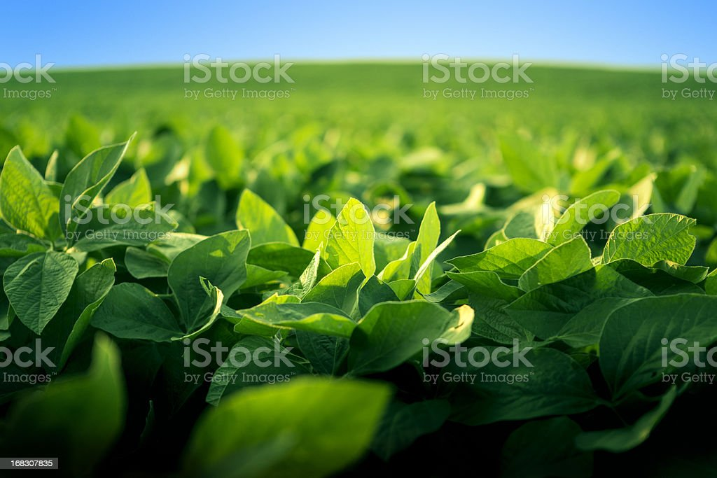 Robust soy bean crop basking in the sunlight stock photo