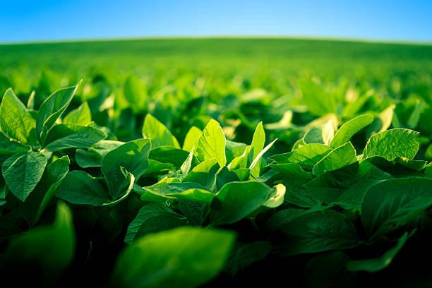 robust soy bean crop basking in the sunlight - soya fasulyesi stok fotoğraflar ve resimler