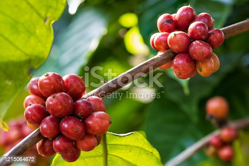 Closeup of robusta coffee beans ripening fruit on tree in farm and plantations in Thailand