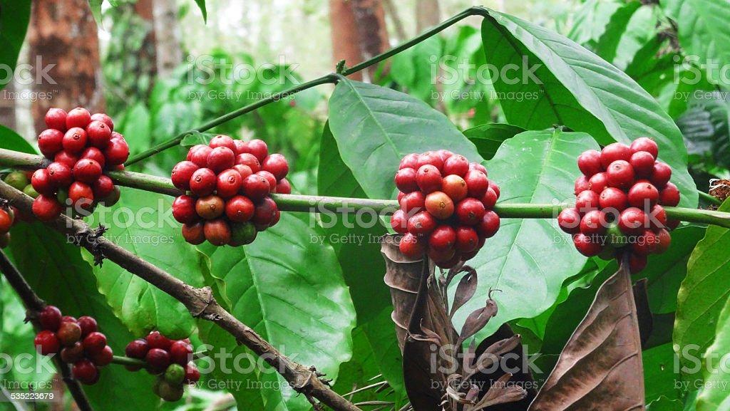 Robusta Coffee berries stock photo